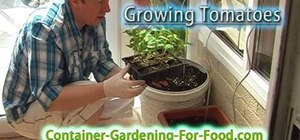 Plant and grow plump red tomatoes in garden containers