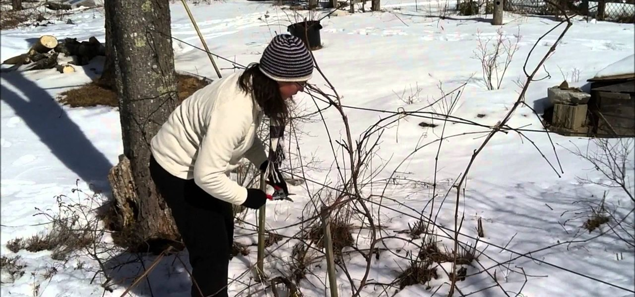Prune Grape Vines Using the Four-Arm Kniffin System