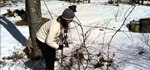 How to Prune Grape Vines Using the Four-Arm Kniffin System