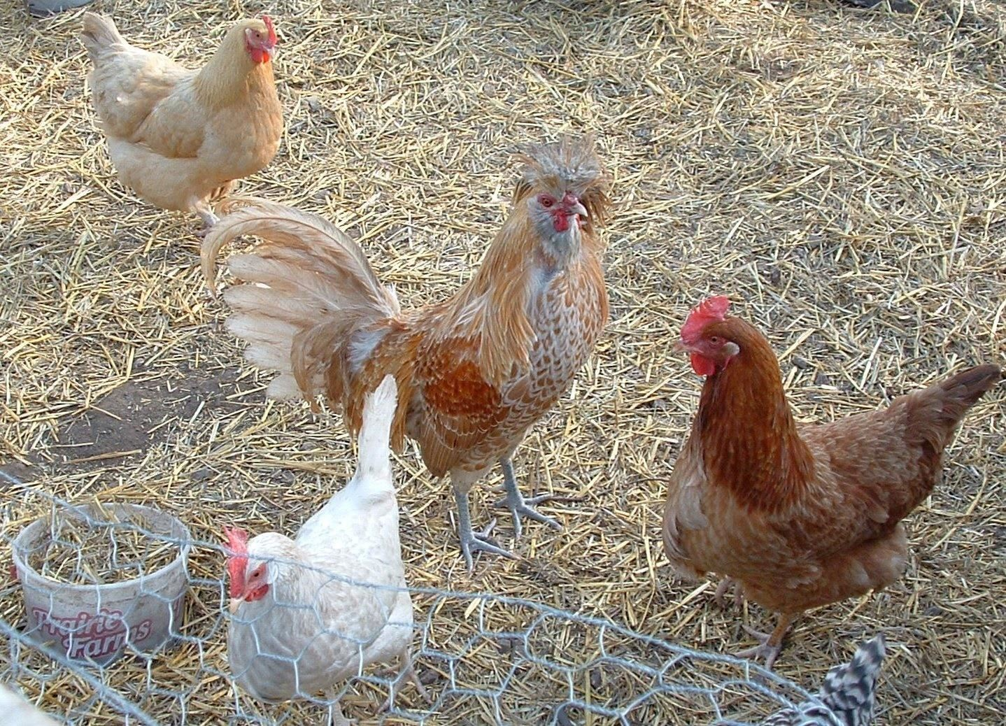 Watch Your Flock, Salmonella Outbreaks from Backyard Birds Are at an All Time High
