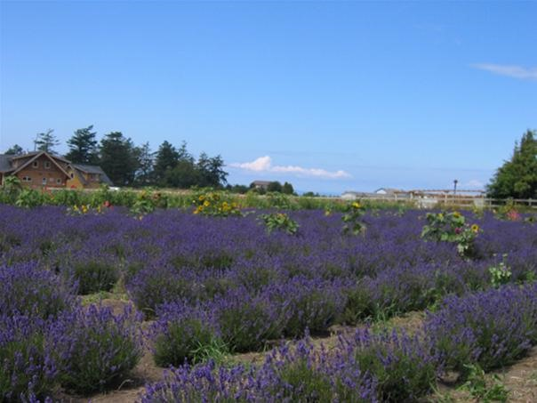 Coupeville: Lavender Wind Farm