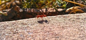 The Micro Ant