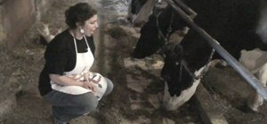 Milk a cow by hand with June the Homemaker