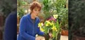 Cross pollinate daffodils