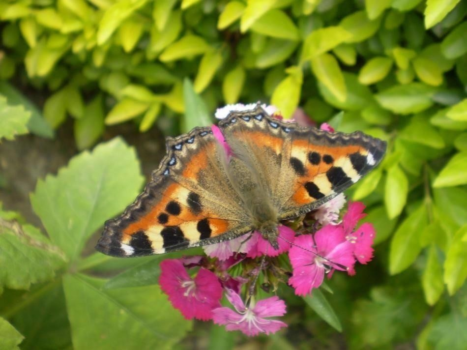 Tiger Moth Butterfly???