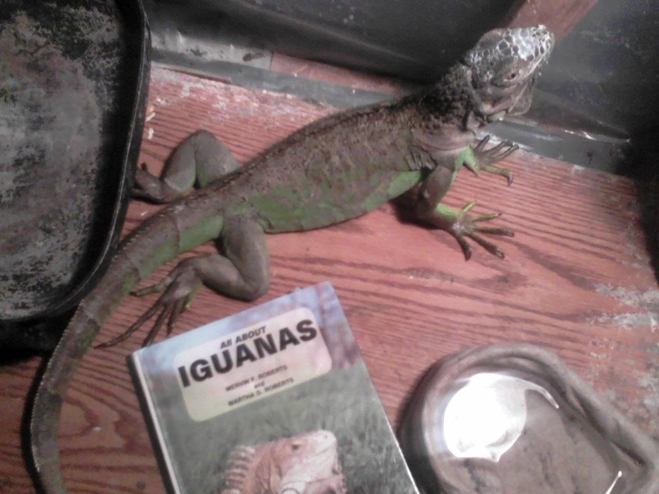 How to Care for an Iguana Without a Cage