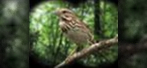 Identify the song sparrow