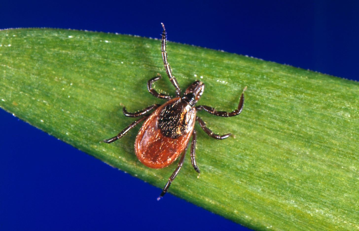 CDC Reports 2600% Increase in Tick-Borne Babesiosis Infections in Wisconsin in 12 Years