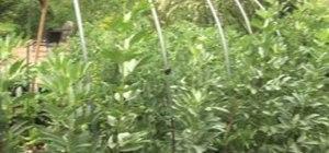 Grow delicious fava beans