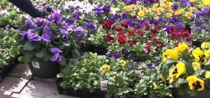 Keep your pansies healthy year round