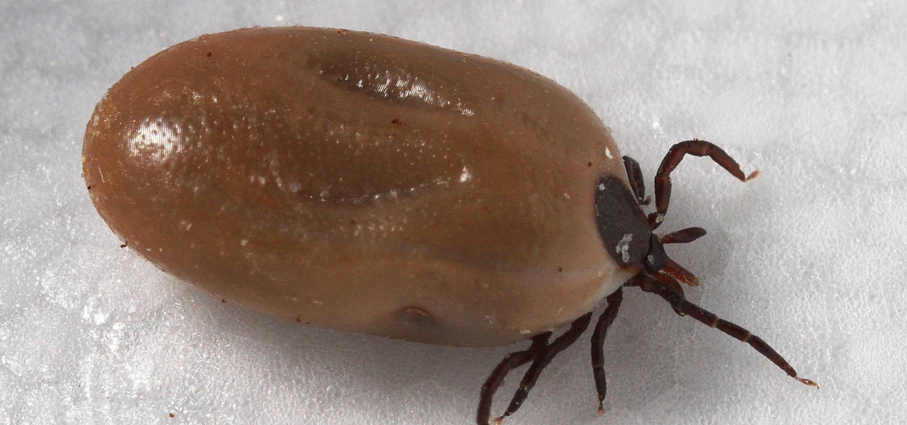 Tick-Borne Infection Babesiosis —  Symptoms, Sources & Risk