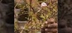 How to Prune a viburnum plant, remove sideshoots