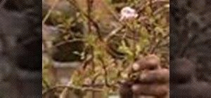 Prune a viburnum plant, remove sideshoots