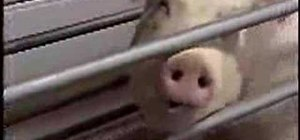 Feed a pig in a farrowing crate
