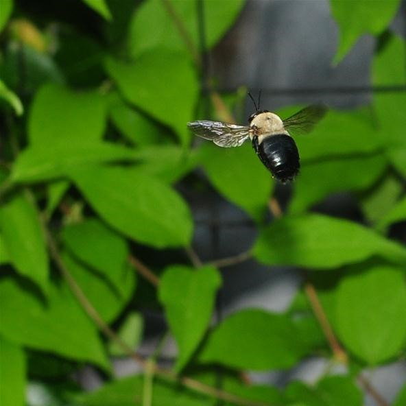 Insect Photography Challenge: Flight of the Bumblebee