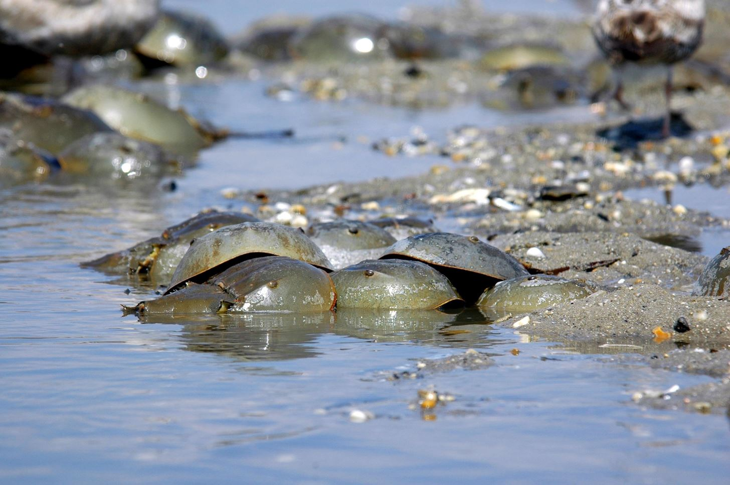 How Horseshoe Crabs Are Saving Us from Healthcare-Associated Infections