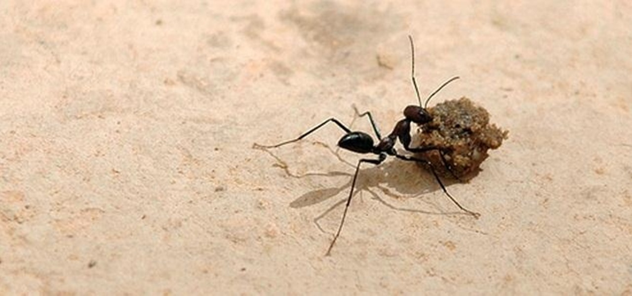 Tunisian Ants Don't Need a GPS to Return Home