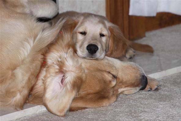 Pet Portrait Challenge: Golden Comfort