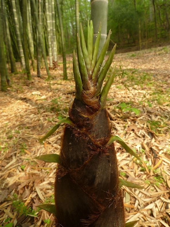 How to Grow Cold, Hardy Running Bamboo