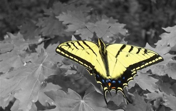 Vibrant Color Photography Challenge: Western Tiger Swallowtail