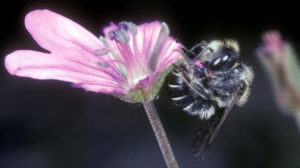 Super Rare Bumblebees Build Homes With Flower Petals
