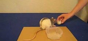 Train Your Pet Rat to Play Basketball