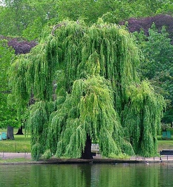 How To: Make Aspirin from a Willow Tree