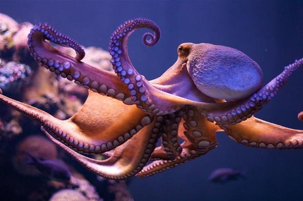 The Octopus Conundrum: Octopuses vs. Octopi vs. Octopodes