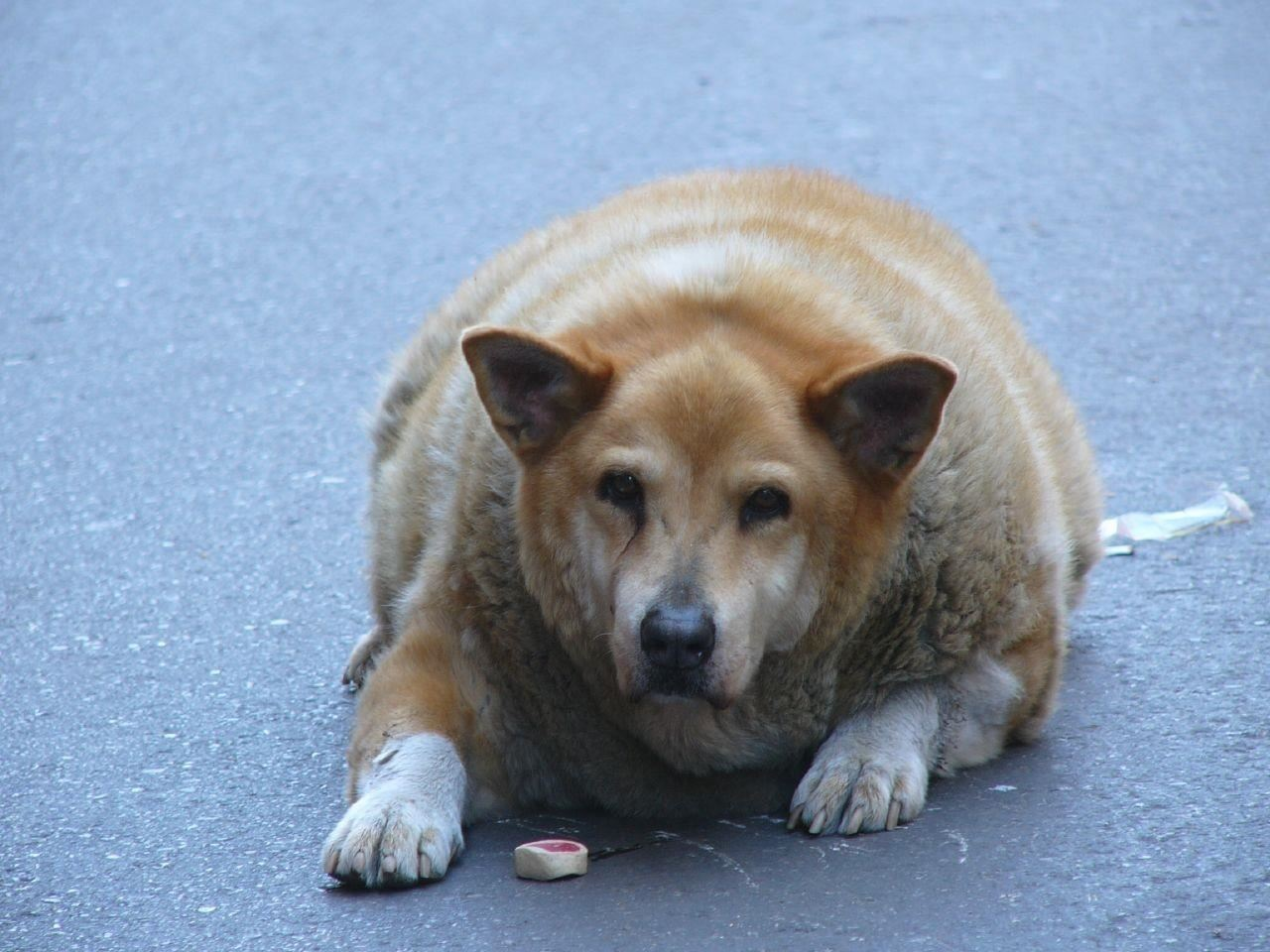 Research Published in mBio Shows How Gut Bacteria Can Help Chubby Dogs Live a Better—& Longer—Life