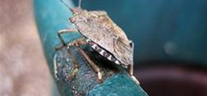 Get Rid of Stink Bugs Without Using Pesticides