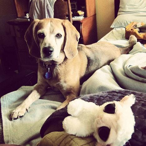 Pet Portrait Challenge: Beagle