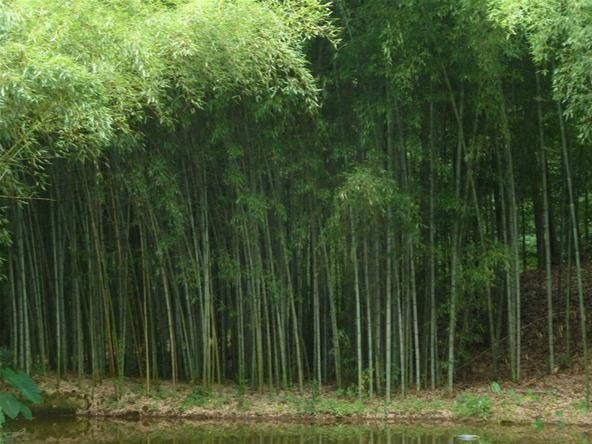 How To Grow Cold Hardy Running Bamboo Landscaping Wonderhowto