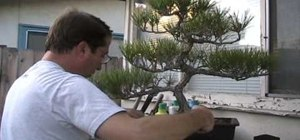 Repot a Japanese black pine bonsai