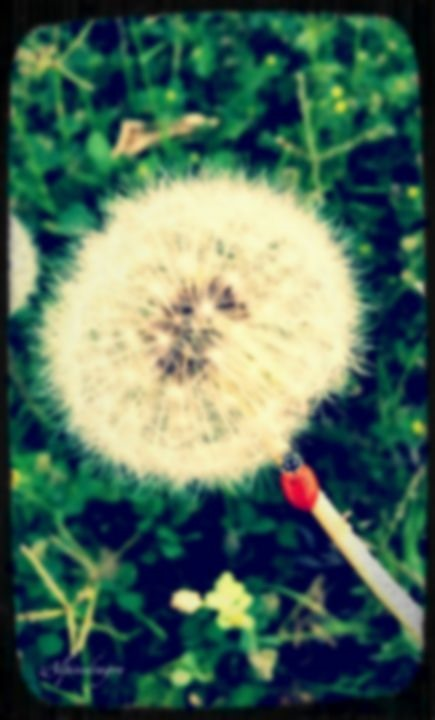 Blurred Photography Challenge: Ladybug on Dandelion