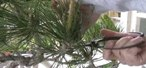 How to Prune & clean a Japanese black pine bonsai for spring