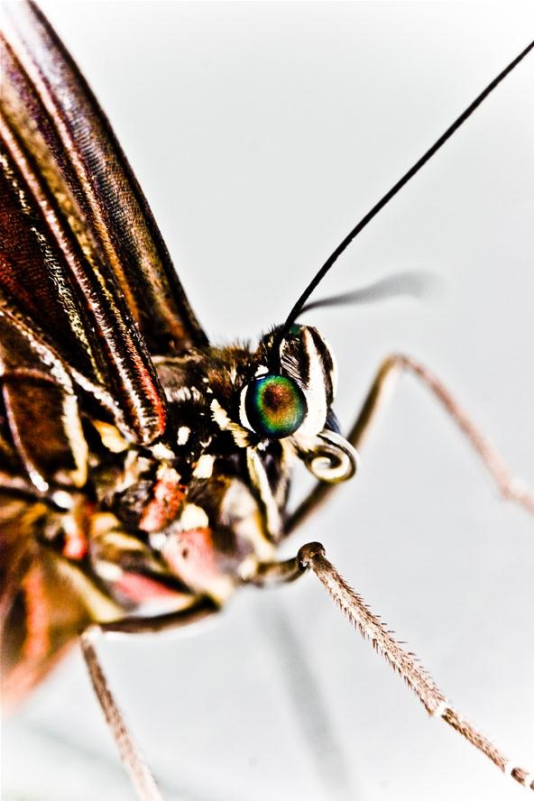 Insect Photo Challenge: Close-up of a Blue Morpho Butterfly (Morpho peleides)