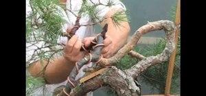 Style a yamadori bonsai