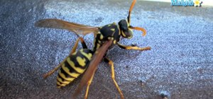 Get rid of a wasp problem as a homeowner