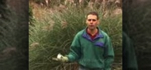 Tie up your ornamental grasses for the winter