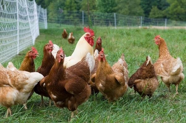 Organic, Cage-Free, Natural: The Truth Behind Egg & Chicken Labels