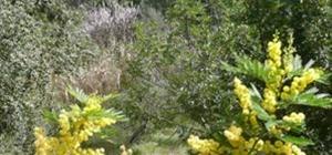 Mimosa i blom