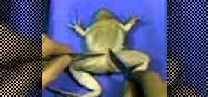 Make an incision when dissecting a frog