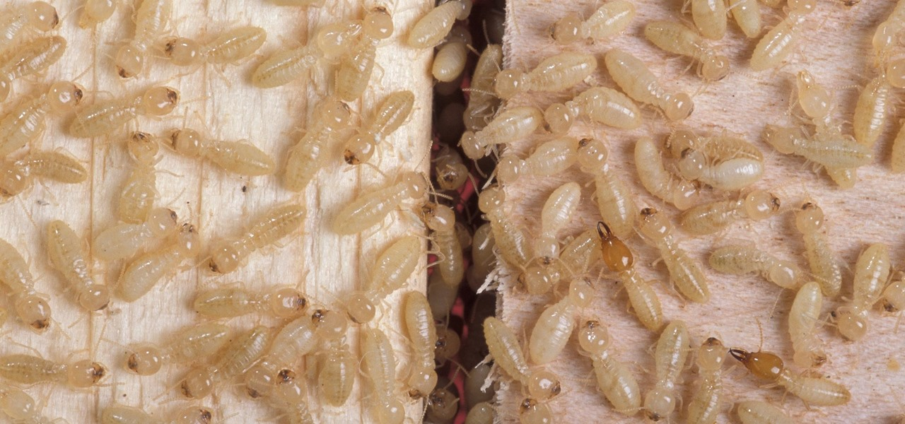 Termite Guts May Hold the Key to More Efficient Biofuels