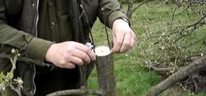 Rind graft an apple or pear tree