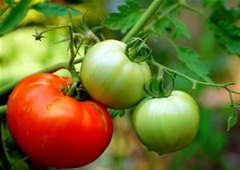 How to Save Your Tomatoes From Rats And Rot