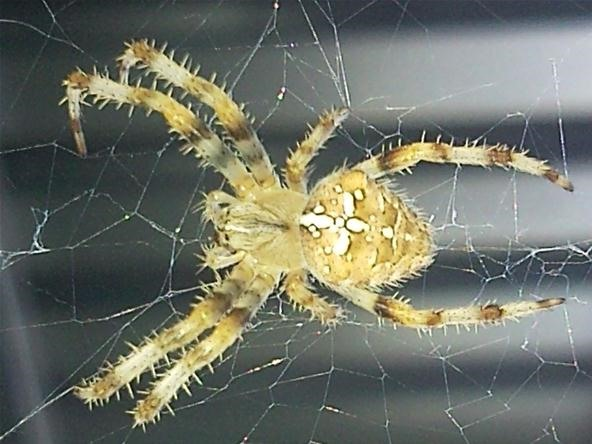 Vibrant Color Photography Challenge: Spider, Size of My Fingernail