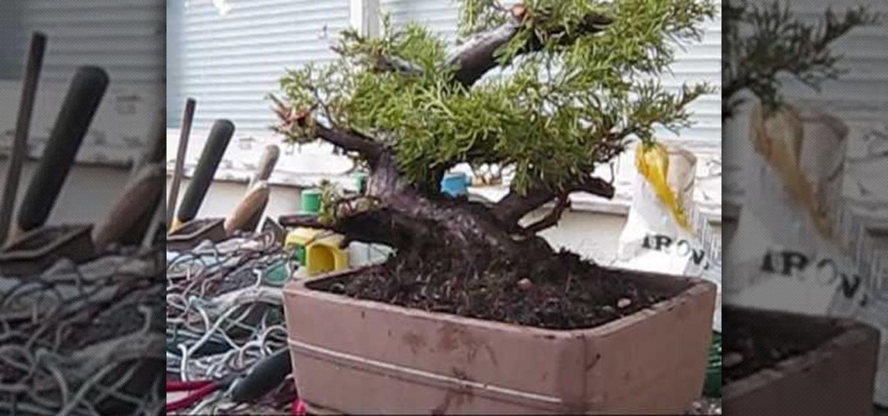 How To Repot A Juniper Bonsai Tree Fall Gardening Wonderhowto