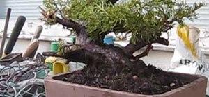 Repot a juniper bonsai tree fall