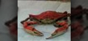 Eat a Maryland blue crab