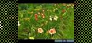 Grow daylilies